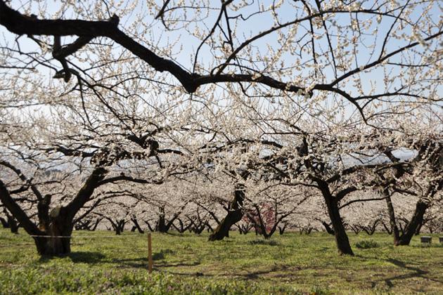みさと梅まつりを開催中!雄大な景色の中で一足早い春を家族そろってお楽しみください。