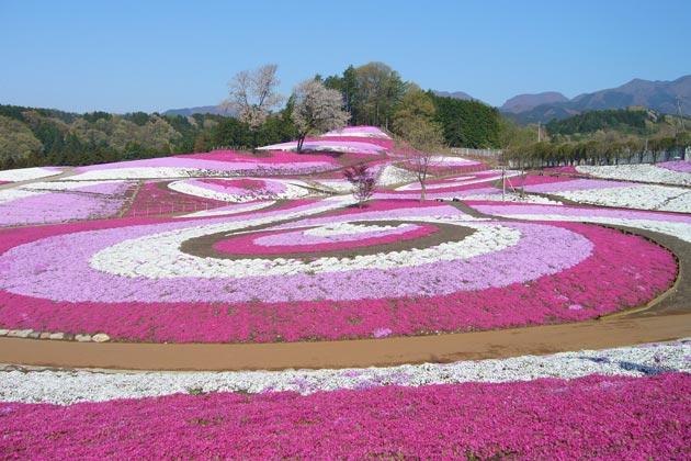 「みさと芝桜公園」の画像検索結果